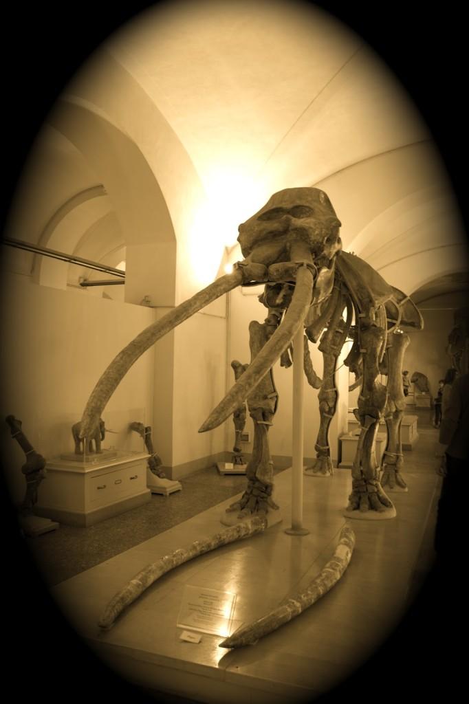 Un esemplare nel Museo di Storia Naturale di Firenze
