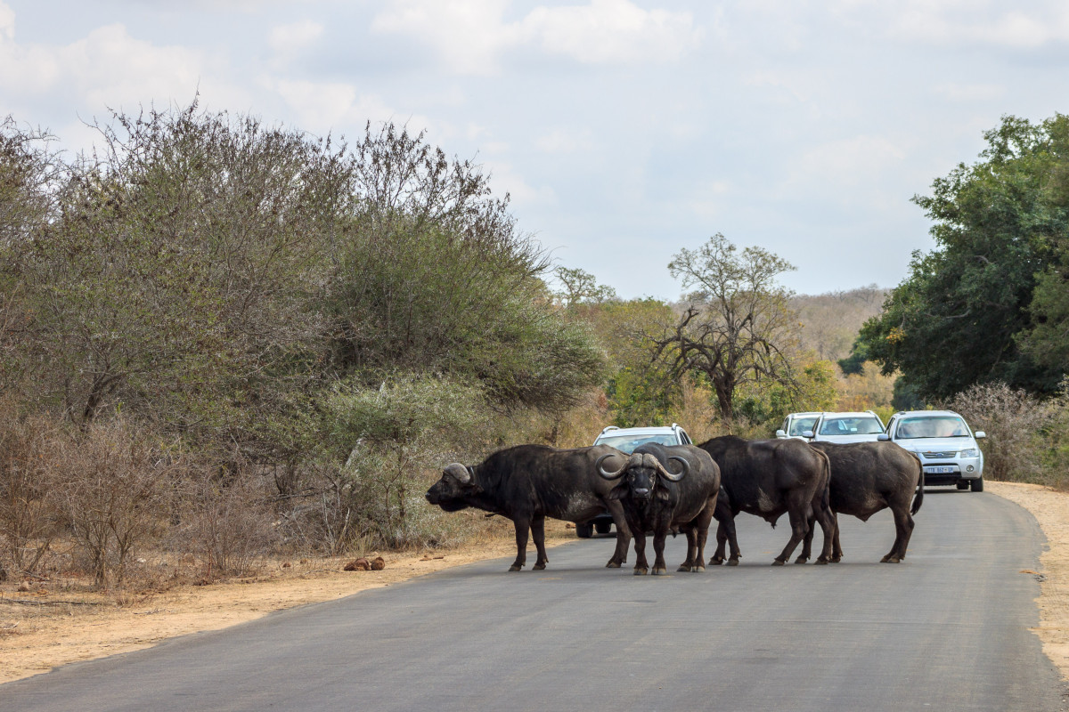 Bufali al Kruger National Park