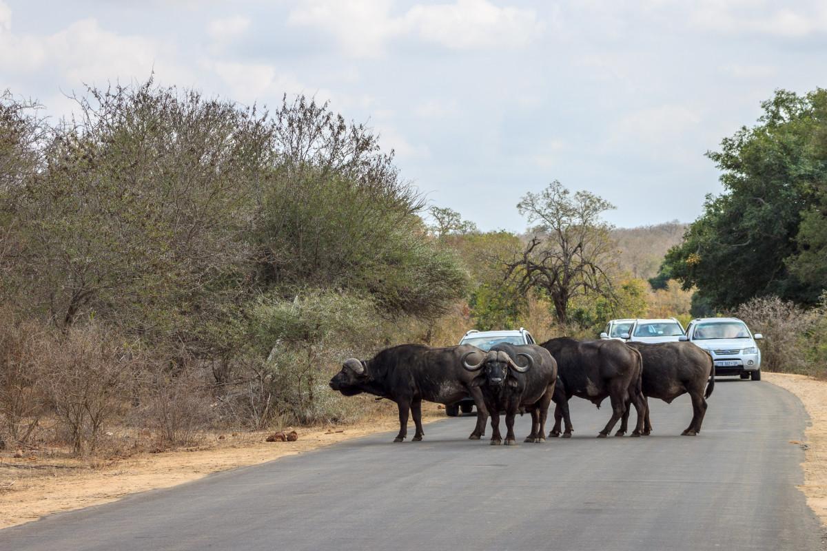 Bufali al Kruger National Park
