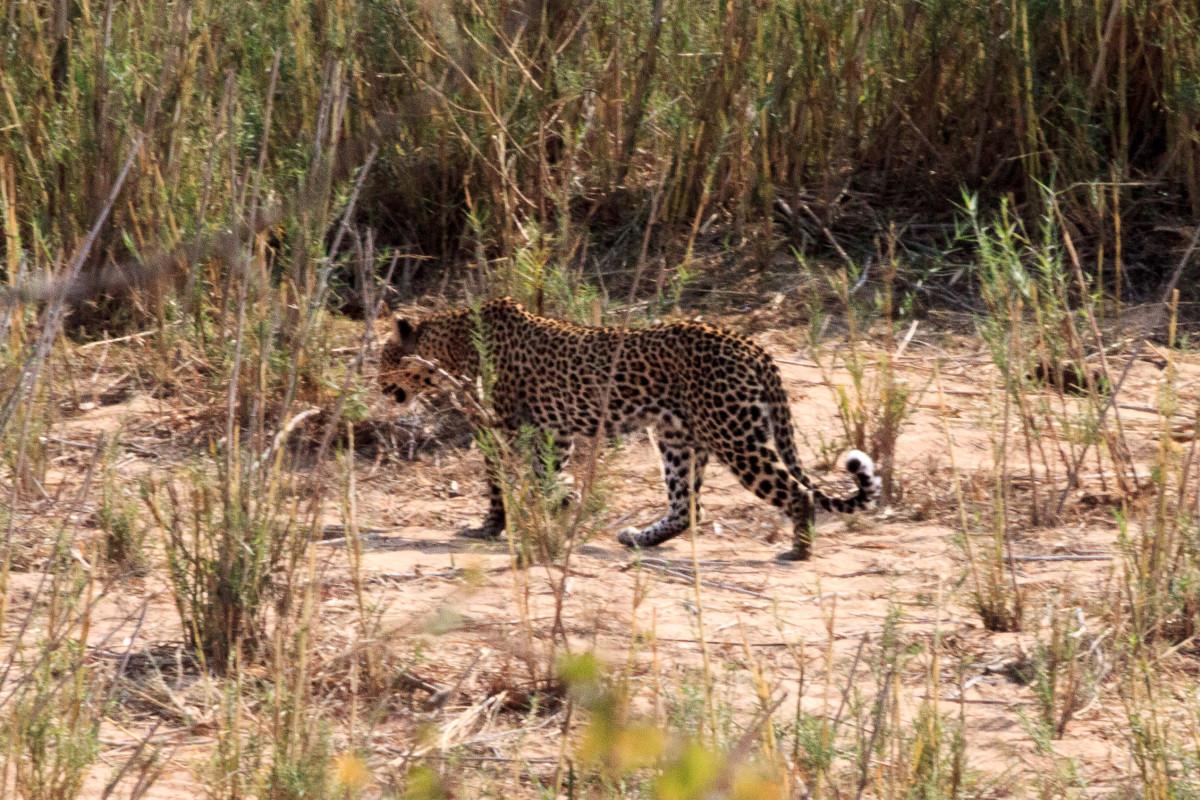 leopardo-kruger-national-park-Sudafrica