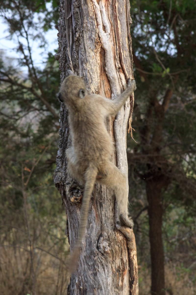 Scimmia al Kruger National Park