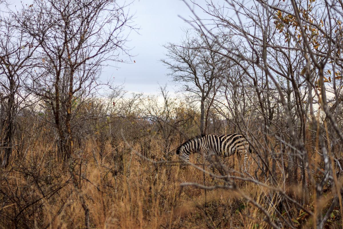 zebra-kruger-national-park-Sudafrica