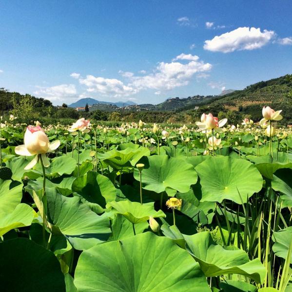 Versilia-Massarosa-fiori-loto