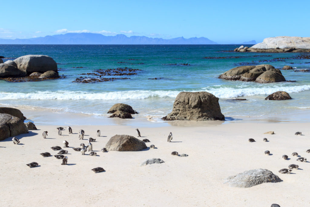 Boulders-beach-pinguini