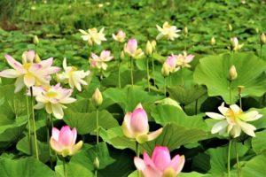 fiori-di-loto-Massarosa