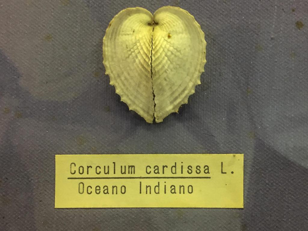 conchiglia-cuore
